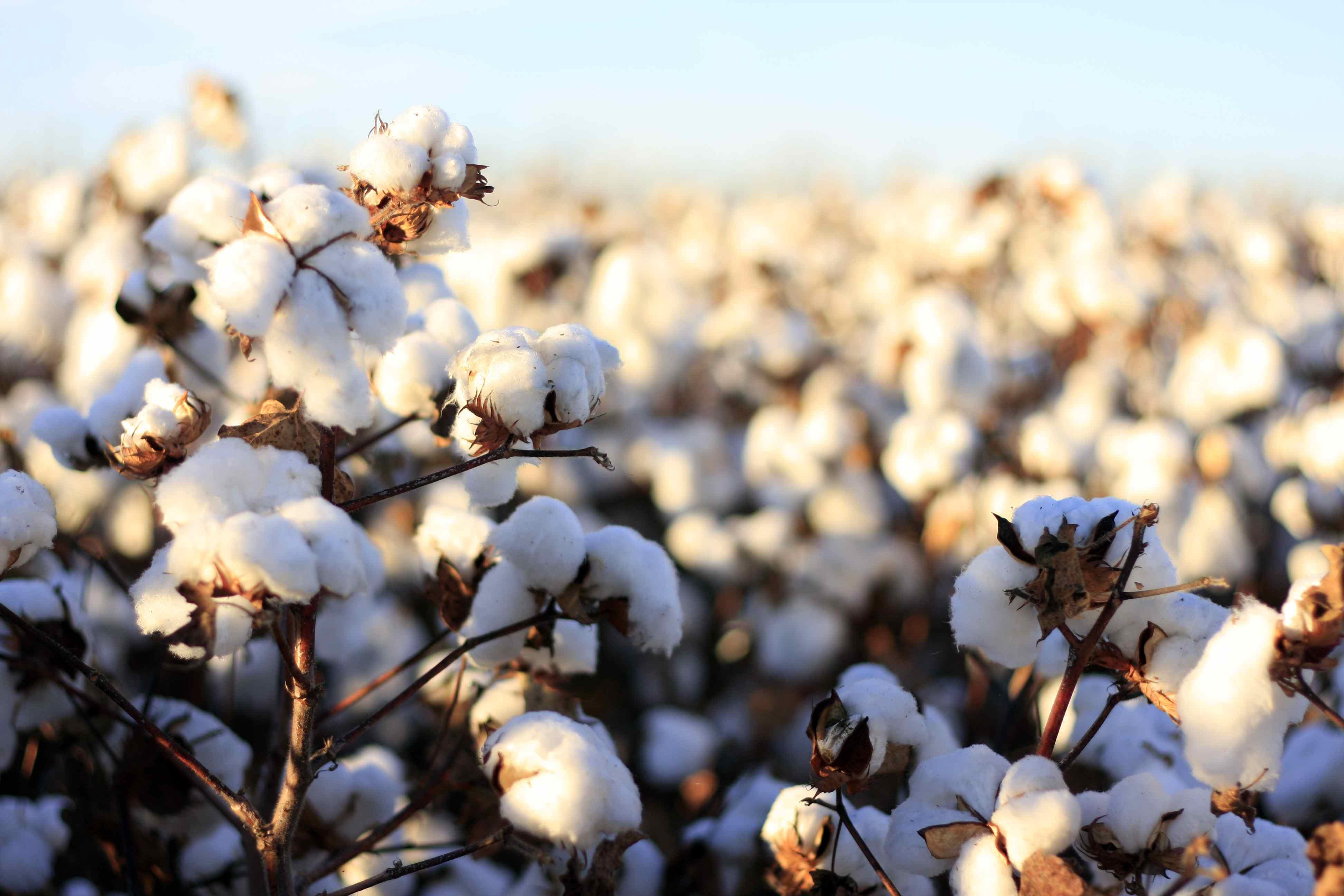 Organic cotton bolls