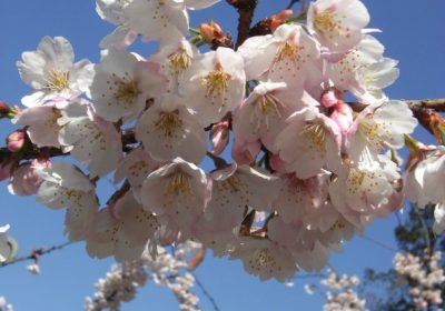 printemps-japon-sakura