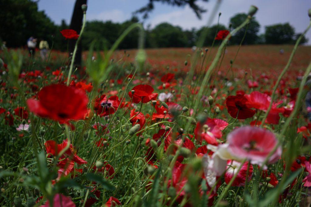 poppy field hylla tokyo flowers