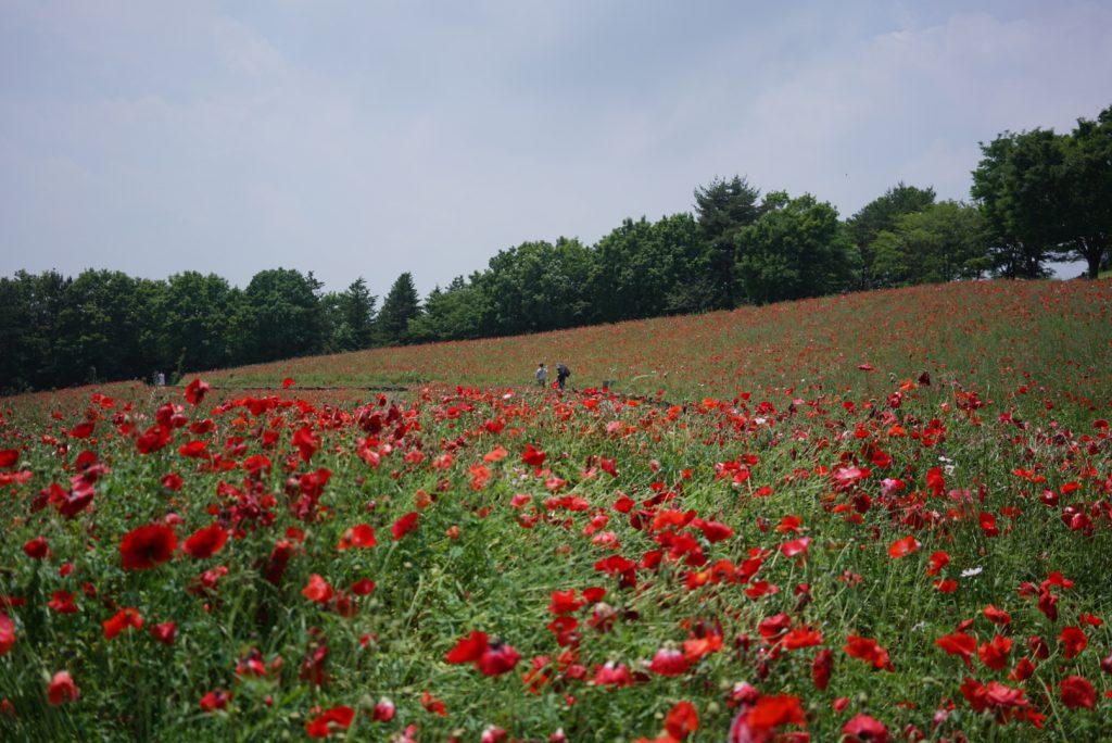 poppy field tokyo coquelicot