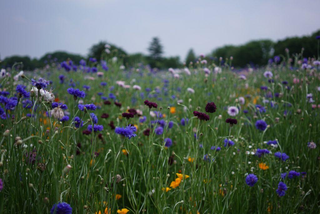 poppy field japan tokyo flowers may
